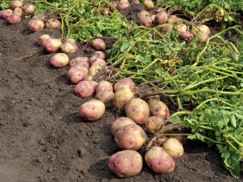 Что нужно знать о картофеле …