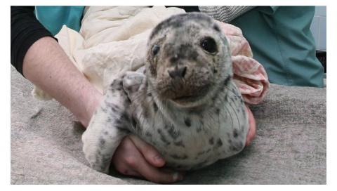 Жители поселка на Камчатке спасли детеныша нерпы от стаи бродячих собак