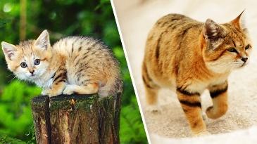 Неуловимый барханный кот поя…