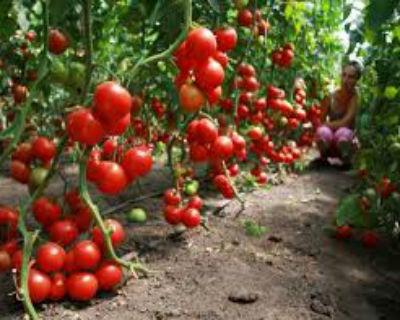 Сорта помидоров для теплицы …