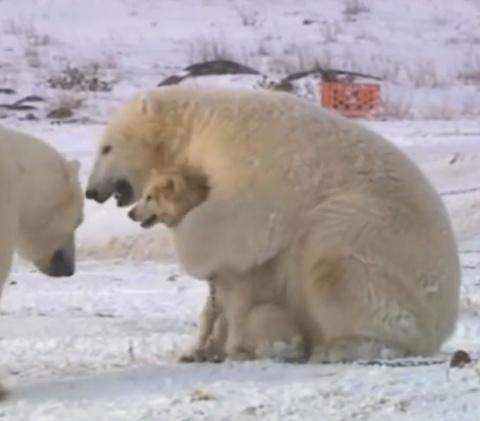 Белые медведи окружили стаю собак…