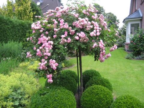 Штамбовая роза: укрытие на зиму
