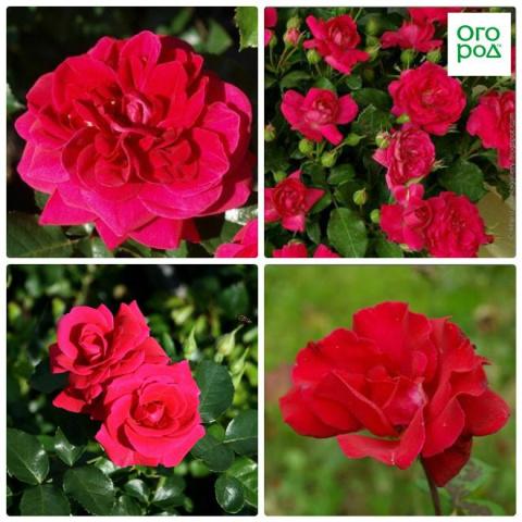 9 лучших сортов роз, цветущи…
