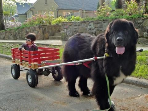 Наш пёс — плохой охранник, зато какой заботливый!