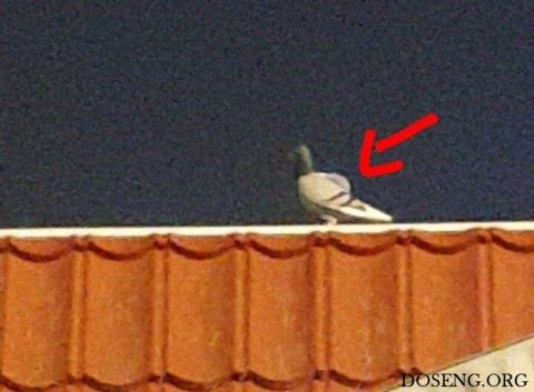 В Кувейте задержан голубь-ко…