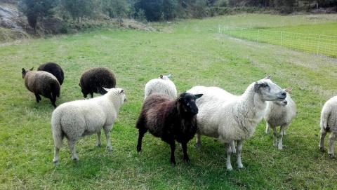 Плохой год для овец: Таинств…