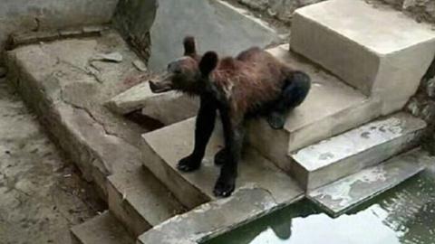 """В китайском зоопарке медведь из-за плохого ухода превратился в """"ходячий скелет"""""""