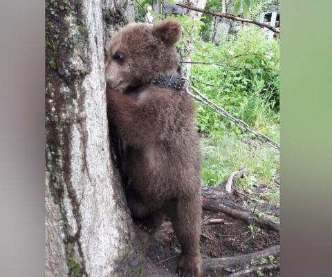 Жители Камчатки просят прокуратуру спасти медвежонка с притравочной станции