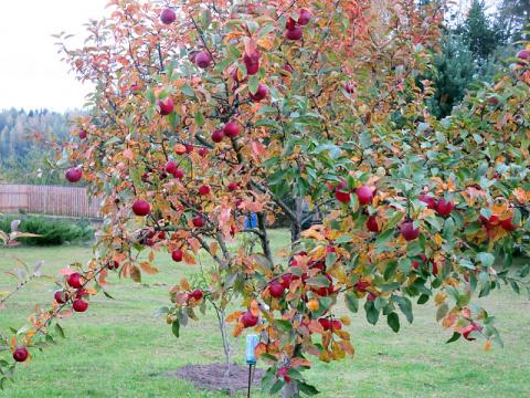 Как ускорить плодоношение молодого сада