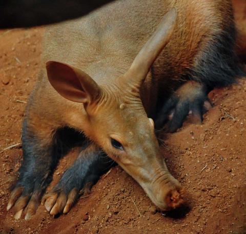 Как живет африканский трубкозуб — самое скрытное животное Черного континента