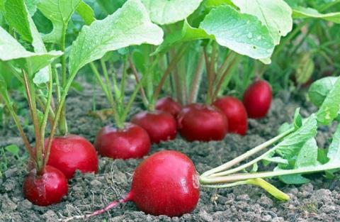 Маленькие хитрости выращивания редиса