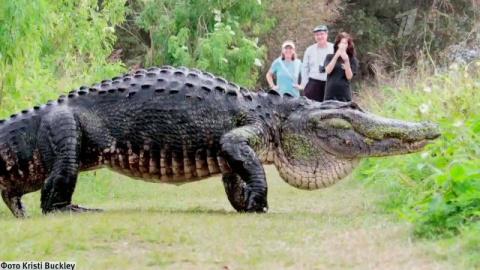 Туристы сняли на камеру аномально огромного аллигатора! Живой динозавр во Флориде пугает туристов
