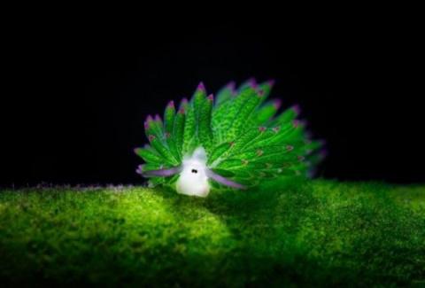 Морской слизняк, похожий на овечку