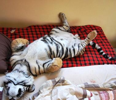 Взрослый амурский тигр живет в доме и спит в постели хозяина как обычный кот(видео)