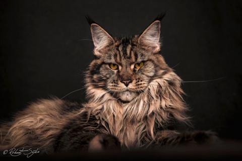 Суровые и величественные портреты мейн-кунов