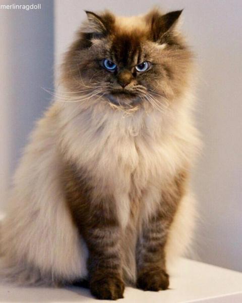 Мерлин — злобный  кот, котор…