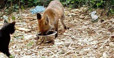 Дикая лиса пришла в приют для животных на обед с любимыми кошками