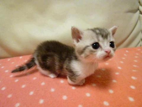 Если вы мечтали, чтобы ваш котенок никогда не вырастал, манчкины — как раз для вас!