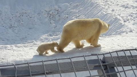 В Якутском зоопарке белая медведица вывела на прогулку медвежонка