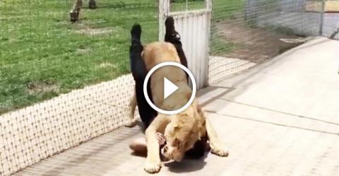 Львица несколько лет не видела человека, который спас ее. И вот они встретились…