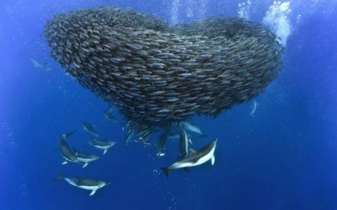 Охота дельфинов и акул на ск…