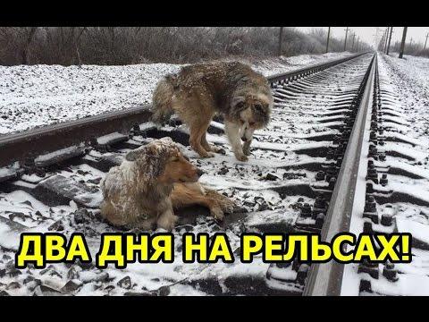 Пес два дня оберегал раненую подругу на рельсах. Он не бросил ее, даже когда на путях появился поезд...