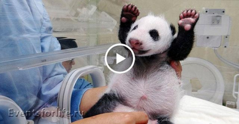 Реакция панды-мамы на ее мал…