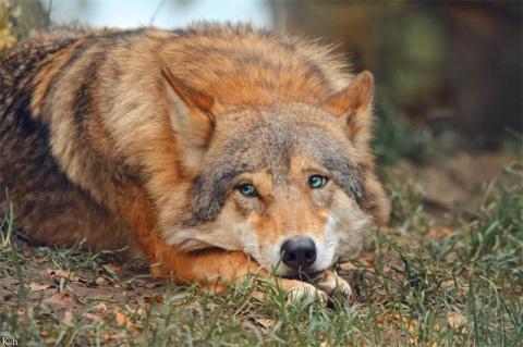Исчезающий вид: последние рыжие волки на планете