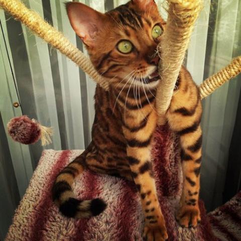 Зеленоглазый бенгальский кот…