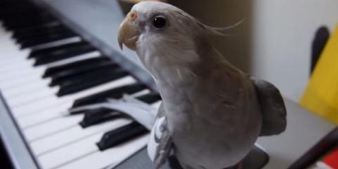 Попугай поет лучше, чем неко…