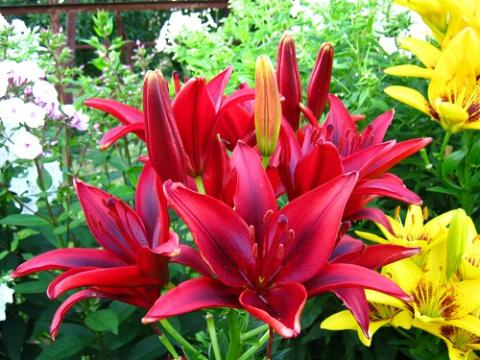 4 способа размножить лилии
