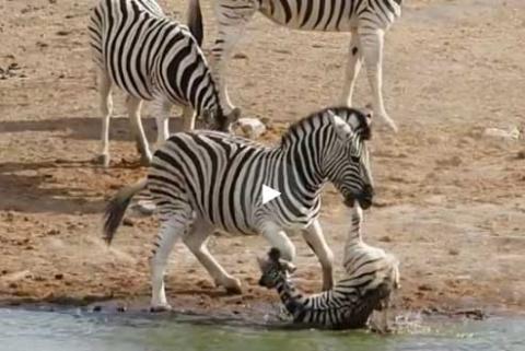 Агрессивный самец зебры попытался утопить детеныша