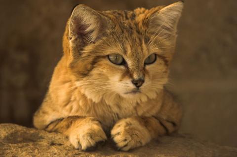 КОШКИН ДОМ. Барханная кошка