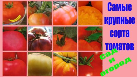 Самые крупные сорта томатов. Экземпляры до 4 кг. Подробнее смотрите видео здесь