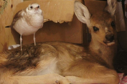 В Иркутском контактном зоопарке чайка подружилась с олененком-сиротойВместе подруги едят, играют и даже ночуют