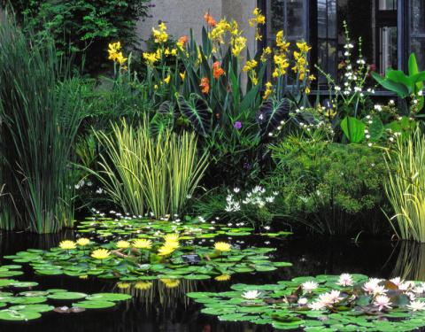 Роскошные канны: украшение вашего сада