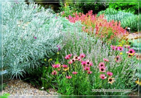 Лаванда в саду: с какими цве…