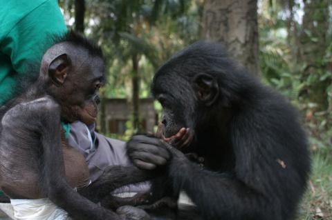 Шимпанзе научились передават…
