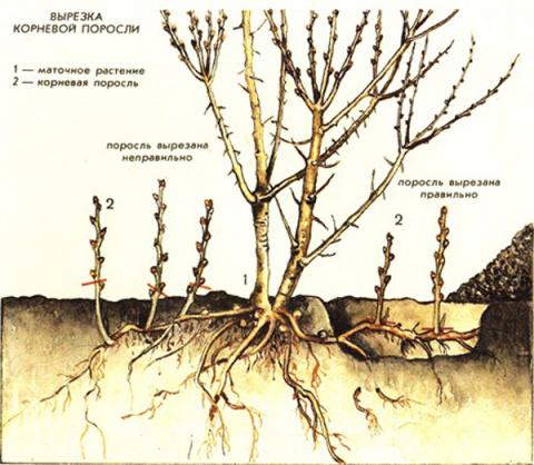 Причины образования корневой…