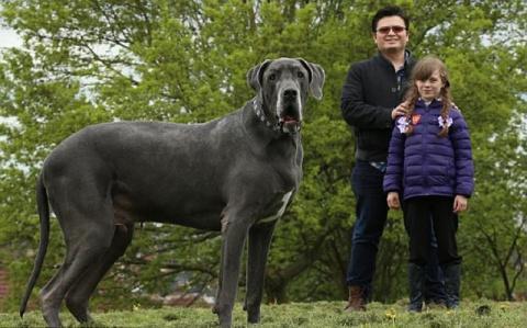 Самый крупный пес Великобрит…