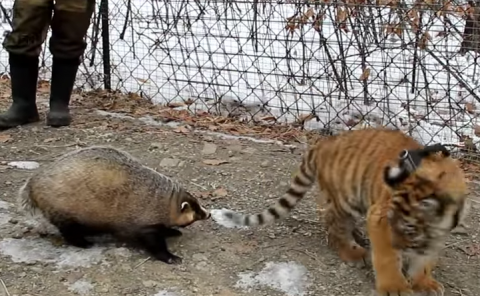В Приморском сафари-парке тигрёнок Шерхан подружился с барсуком Катюхой