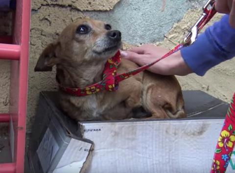 Собака, потерявшая лапу, спала на обувной коробке и ждала помощи