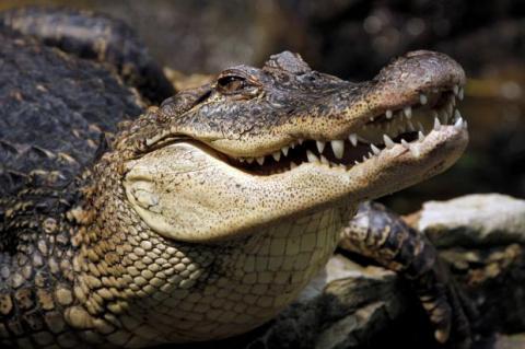 Австралийские крокодилы подк…