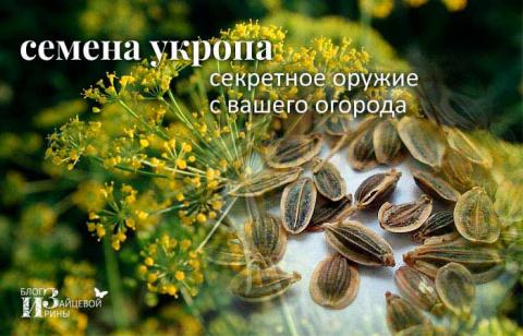 Семена укропа. Полезные свойства. Лечение. Применение. Противопоказания