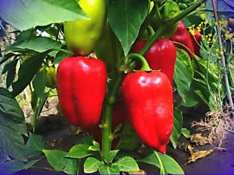 10 советов по выращиванию перца от опытного садовода
