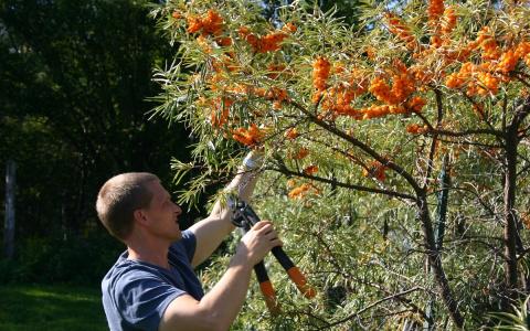 Облепиха в открытом грунте – все о посадке, уходе и размножении
