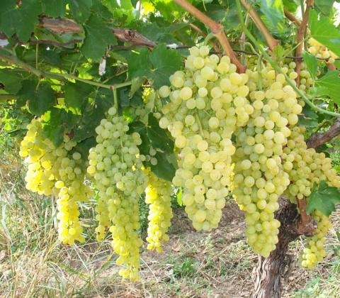 Собираетесь выращивать виноград? Обязательно прочитайте эти советы