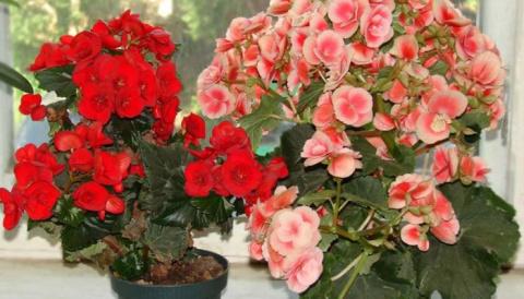 7 «несчастливых» растений, к…