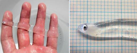 Фантастические твари: прозрачные животные, в существование которых верится с трудом