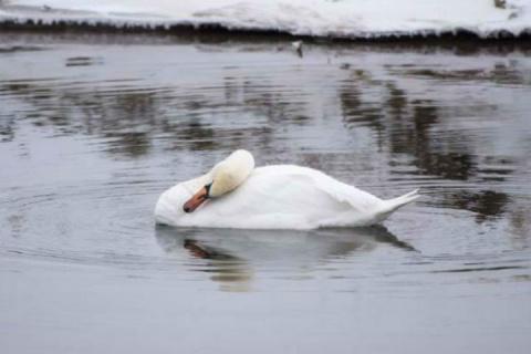 В Хакасии пытаются спасти отставшего от стаи редкого лебедя